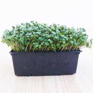 Mosterd Microgreens 250gr