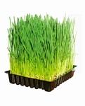 Tarwegras Microgreens 250gr