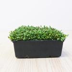 Alfalfa Microgreens 250gr