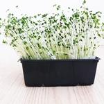 Broccoli Microgreens 250gr