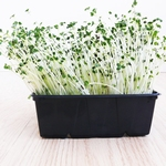 Broccoli Microgreens 250gr