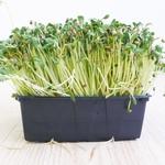 Fenegriek Microgreens 250gr
