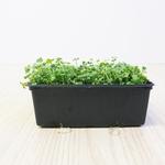 Rucola Microgreens 250gr